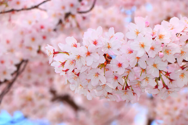 「桜」に秘められた意味とは?